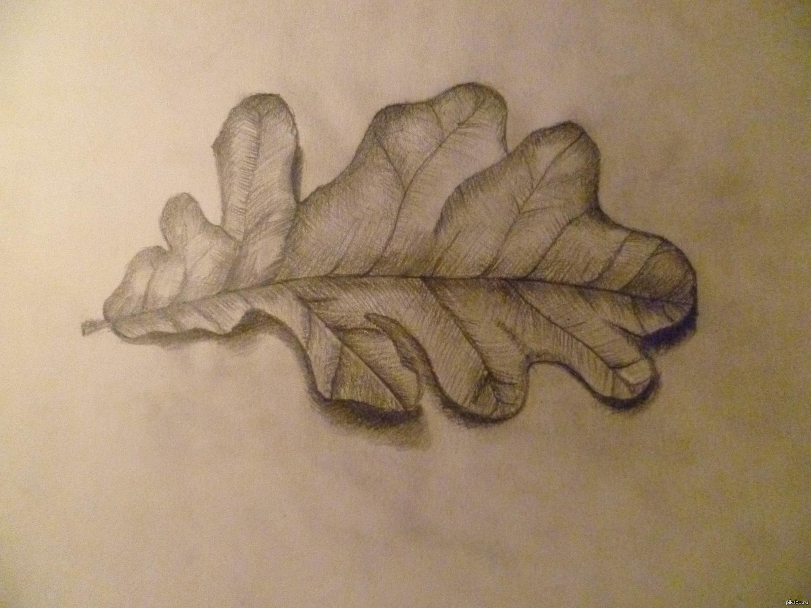Картинки дубового листа карандашом